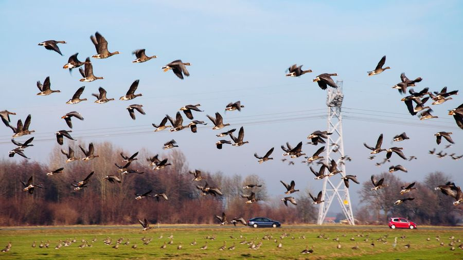 - Bird migration no2 - Large Group Of Animals Animals In The Wild Flying Animal Themes Bird Flock Of Birds Nature Beauty In Nature Goose Migration Sun Sky Landscape Landscape_Collection Landscape_photography Nikonphotography Road Mode Of Transport Electricity  Electricity Pylon Electric Power Wings Flight