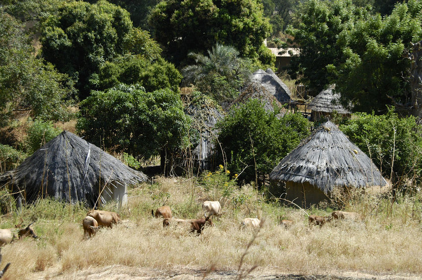 Ibel & Iwol traditional villages Senegal Traditional Culture African Village Bassari Bassari Country Beauty In Nature Day Domestic Animals Iwol No People Outdoors Senegal Traditional Tree Village