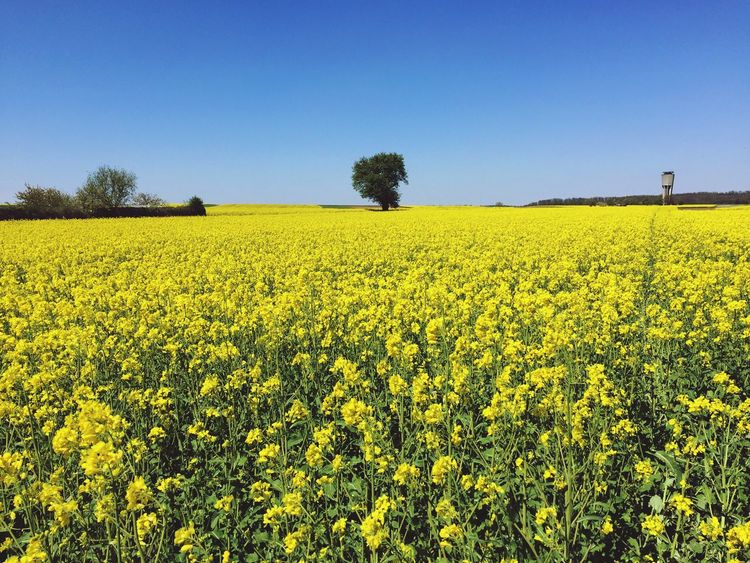 Yellow Oilseed Rape Agriculture Flower Crop  Field Nature Beauty In Nature Rural Scene Tranquility Scenics Cultivated Land Growth Farm Landscape Springtime Clear Sky Blauer Himmel Raps Landschaft EyeEm Nature Lover EyeEm Best Shots Frühling IPhoneography Mustard Plant