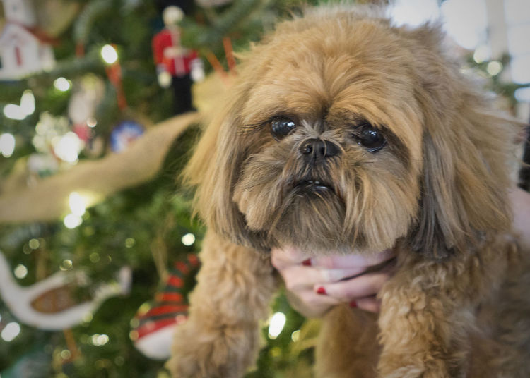 Close-up of dog by christmas tree