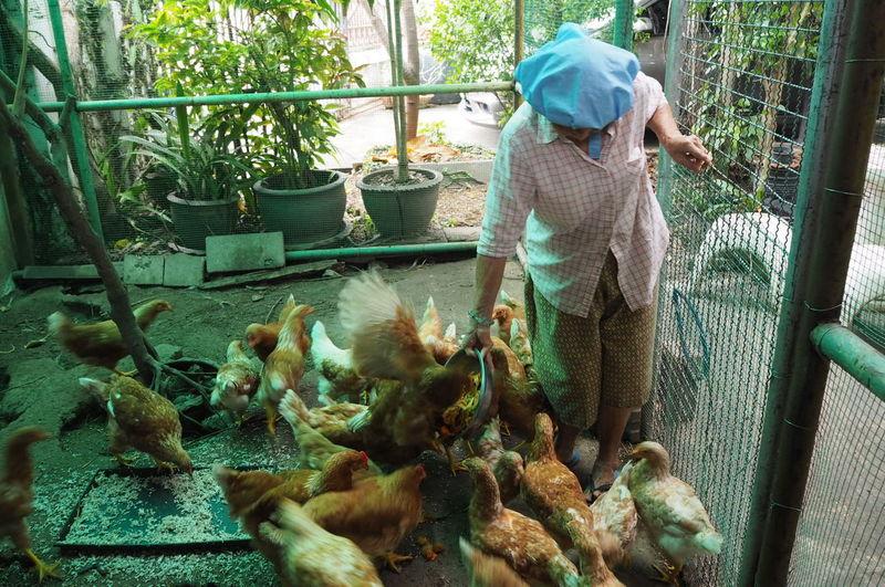 Man Feeding Chicken Birds