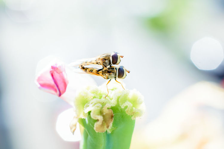 Augen Bees Close-up Copulating Fliegen Fliegenaugen Flies Flower Hoverflies Hoverfly Insect Insect Eyes Mating Mating Season Nahaufnahme Nature Photography Nature_collection Naturelovers Paarung Paarungszeit Schwebfliege