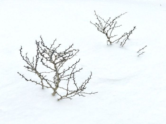 White Branches Branch Bush Snowy Ground Branches In Snow Bare Tree Branch Winter Tree Snow Nature Landscape Cold Temperature Tranquility No People Beauty In Nature