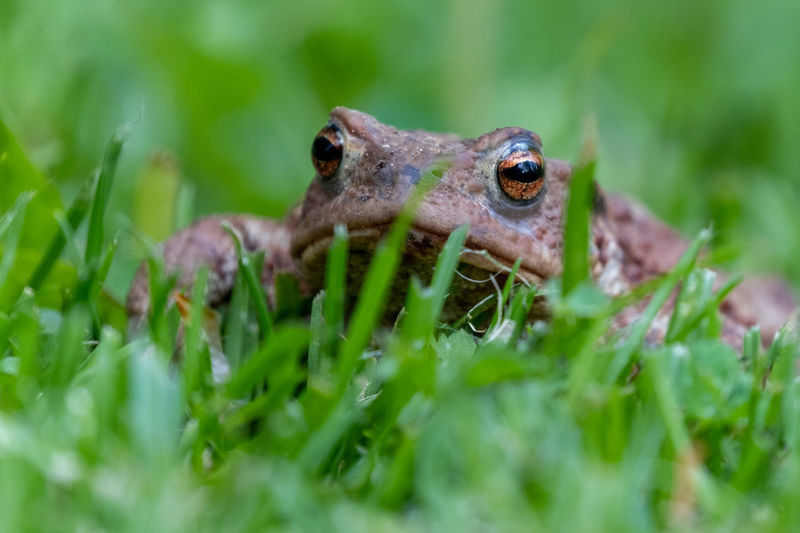 Close-up of frog on grass