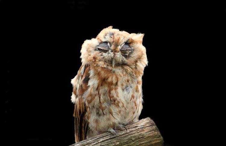 EyeEm Selects Black Background One Animal Looking At Camera Animal Wildlife Animal Themes Portrait No People Studio Shot Screech Owl Bird Of Prey Night Bird Outdoors Perching Owl Nature Close-up Mammal