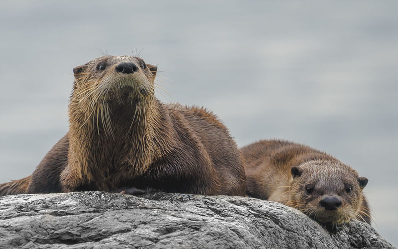 Close-Up Of Otters On Rock