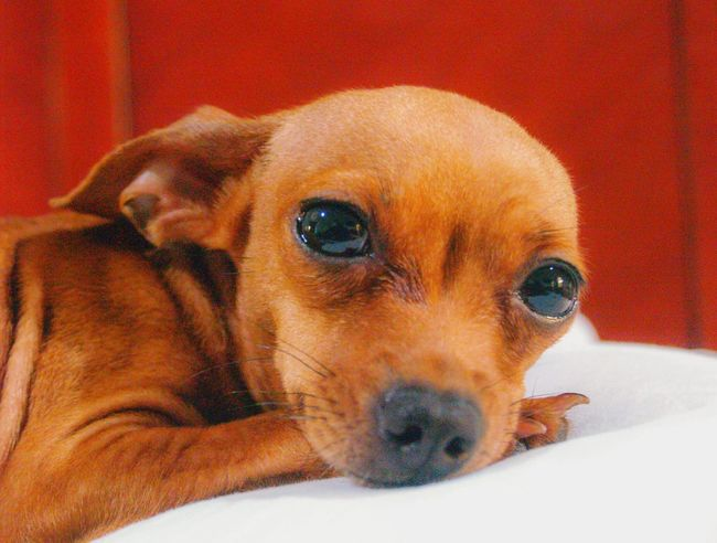 My little girl Tinkerbell ♡ DSLR DSLR Photography Olympus Dslr Puppy Chihuahua Teacup Chihuahua Red Chihuahua