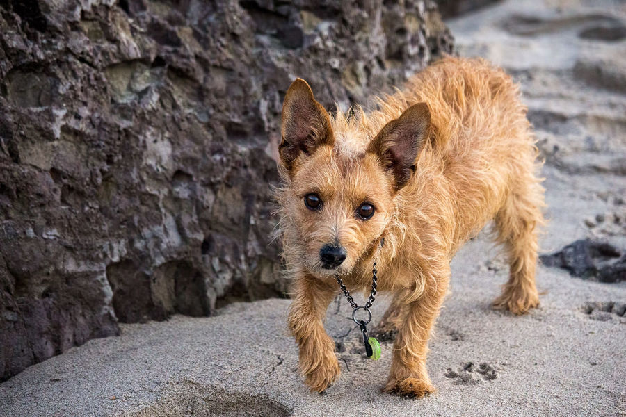 Curious terrier investigates a new friend on the beach AdoptDontShop Dogs Fuzzy Animal Beach Dog Beachphotography Coast Curious Cute Dog Domestic Animals Jetty No People One Animal Outdoors Pet Pets Sand Terrier