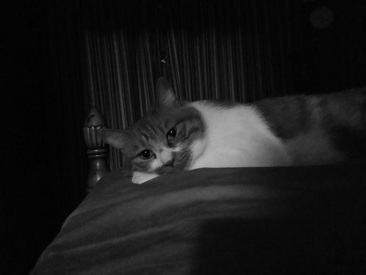 Mycat Cat Cats