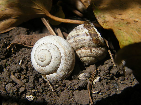 Snail Shells Animal Themes Animals In The Wild Close-up Day Fragility Gastropod Nature No People One Animal Outdoors Snail Spiral Whorl