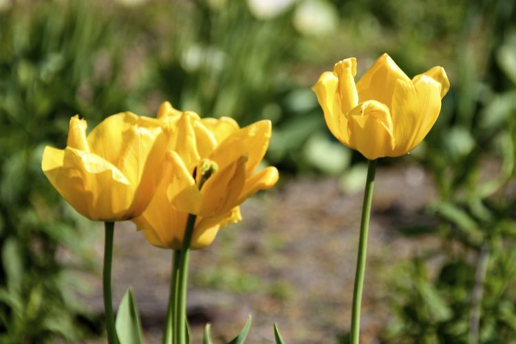 Yellow Tulip Blooming On Sunny Day