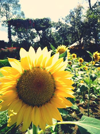 🌻 Flower Head Flower Yellow Sunflower Petal Close-up Sky Plant Blooming Blossom Botany