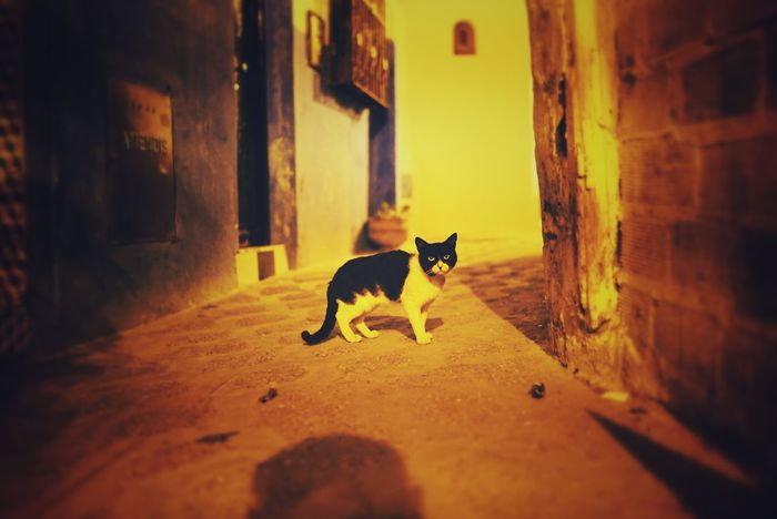 Morocco Photos Pets Cat One Animal Domestic Animals Animal Animal Themes Mammal No People Cats 🐱 Outdoors Night Stare Alley Back Street Light Neon Life Morocco Travel Light And Shadow Cat♡ Cat Lovers Cats Of EyeEm Catoftheday Streamzoofamily