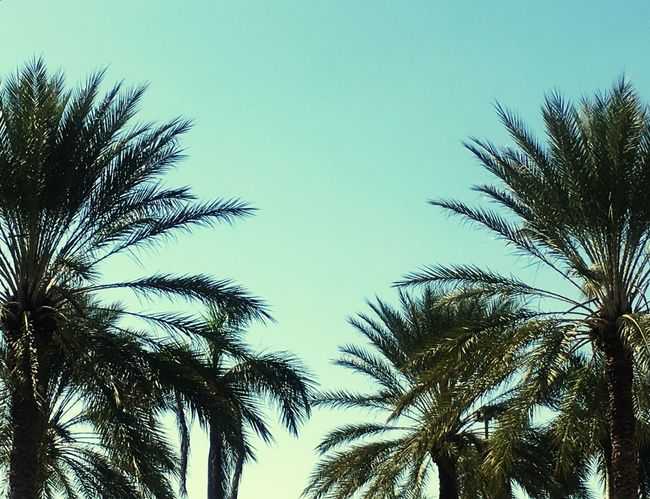Palm Frond Sky Low Angle View Clear Sky Tree Palm Tree Blue No People Nature Growth Outdoors Beauty In Nature Day
