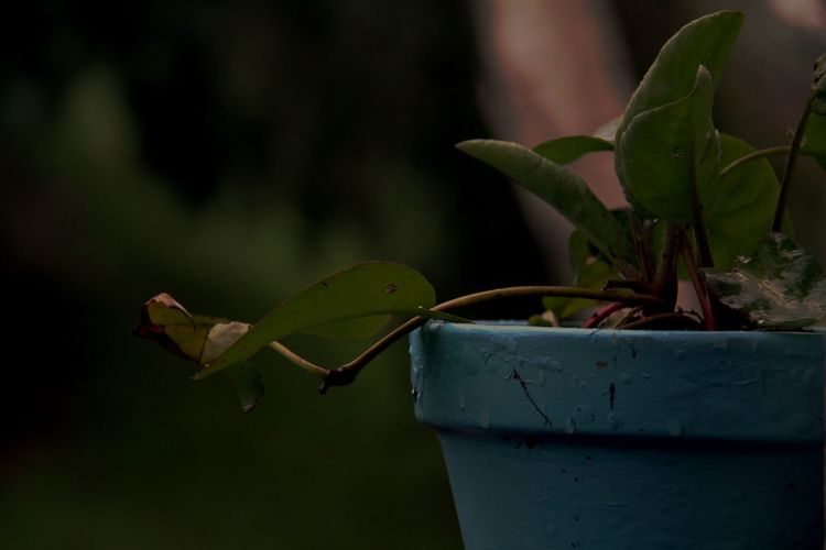 Growth Plant Leaf Potted Plant Nature Green Color Focus On Foreground No People Fragility Day Outdoors Beauty In Nature Close-up Freshness Rain Drops On Leaves