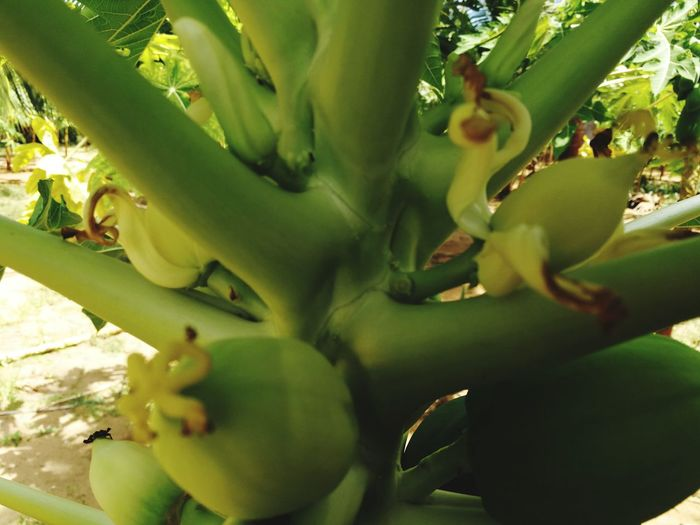Prickly Pear Cactus Tree Herbal Medicine Cactus Alternative Medicine Thorn Close-up Plant Green Color