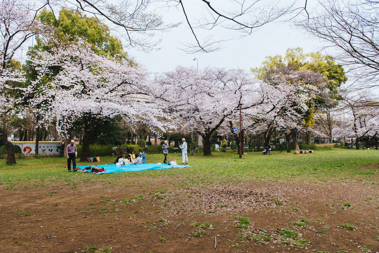 Hanami party. Akatsuka Park, Tokyo. Sakura Season 2016. Bare Tree Bench Branch Day Field Grass Growth Landscape Large Group Of People Leisure Activity Lifestyles Men Nature Park - Man Made Space Person Sakura Sky Tranquility Tree Tree Trunk