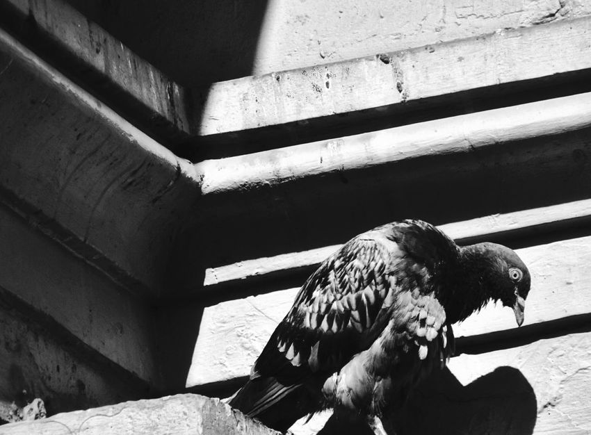 Luz y sombra.. Bird Animal Themes Dove Feather The Street Photographer - 2017 EyeEm Awards Dove In The City Dove Life City Bird Black And White Black Background Black And White Filter City On Black And White Shadows And Lines In A Corner Concrete Architecture Bird Supported By Supported By Retro Styled Retro Scene Exhausted Exhaustion Distress Depression Depressive Slump Hollow
