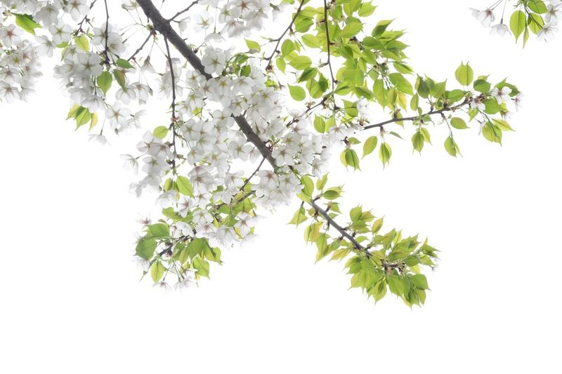 Plant Tree Branch Leaf Plant Part Beauty In Nature Nature Sky Freshness Outdoors Flowering Plant White Color Fragility Green Color Springtime No People Growth Low Angle View Day Twig