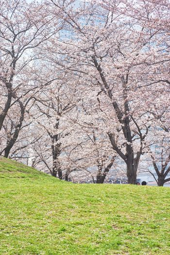 EyeEm Best Shots EyeEm Nature Lover Cherry Blossoms Cherry Blossoms Sakura Growth Agriculture Tree Beauty In Nature Nature Field Grass Green Color Springtime Rural Scene Freshness Branch Flower Day Outdoors Scenics No People Fragility Sky