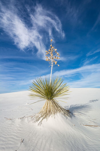 White Sands National Park, New Mexico, USA Beauty In Nature Blue Cloud - Sky Day Desert Dunes Idyllic Landscape New Mexico, USA No People Outdoors Plant Sand Scenics Sky Tranquil Scene Tranquility White White Sands National Monument White Sands National Park Yucca
