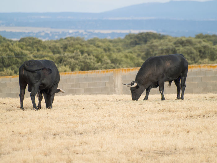 Animals In The Wild Bull Dangerous Animals Livestock Pasture Salamanca Summertime Animal Animal Themes Black Bull Bullfighting Bulls Cow Cows Danger Dehesa Environment Grassland Mammal Pasture, Paddock, Grassland, Pastureland Quercus Quercus Ilex Summer Toro Toros