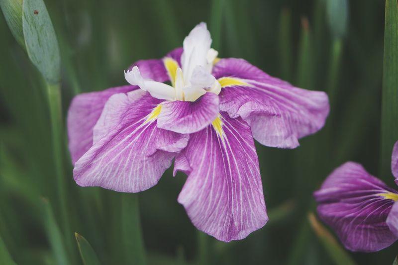 Flowers Iris Flowering Plant Flower Plant Petal Fragility Nature Purple Close-up