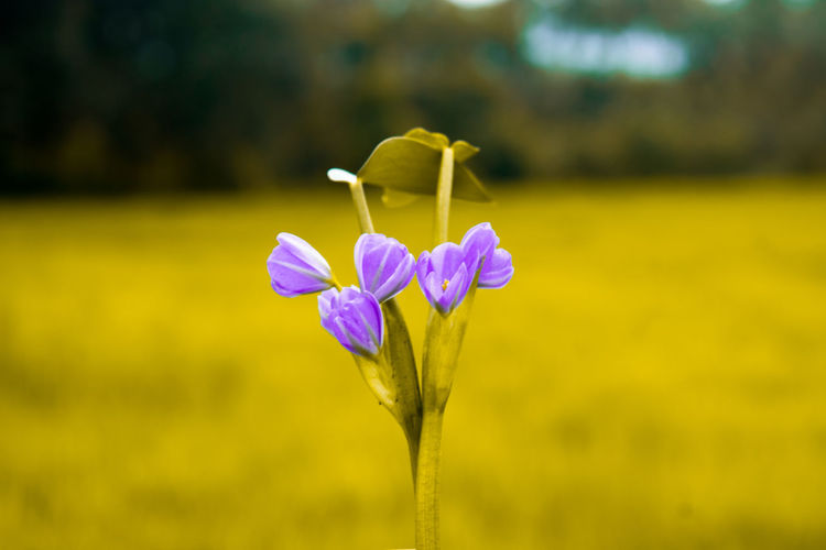 Flower Plant Nature Fragility Flower Head Beauty In Nature Petal Focus On Foreground Close-up Springtime Outdoors Purple Day No People Growth Leaf Freshness Gold Colored Gold Coast Pattern Miindoors EyeEmNewHere Plant Nature Backgrounds