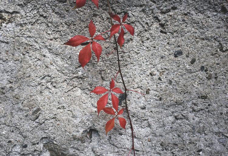 autumn 2016 Autumn Autumn Colors Autumn Leaves Beauty In Nature Botany Change Close-up Concrete Fragility Leaf Leaf 🍂 Leaves Leaves🌿 Maple Leaf Nature Outdoors Red Season  Season  Softness Stem Vibrant Color
