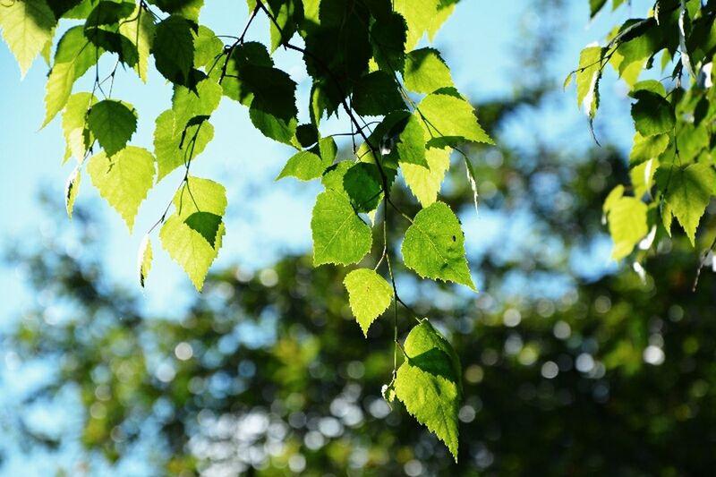 Illuminated leaves Sunny Day Lovely Life Garden Trees Love_green Beautiful Nature