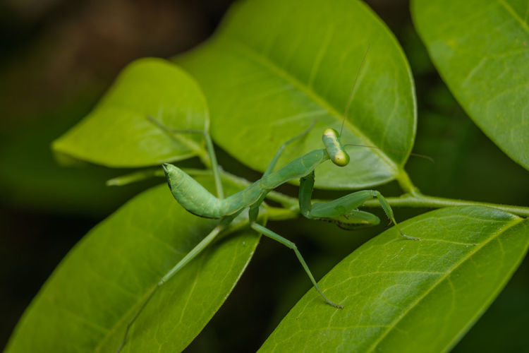 Plant Part Leaf Green Color Close-up Animal One Animal Animal Themes Animals In The Wild Invertebrate Insect Animal Wildlife Plant No People Growth Nature Focus On Foreground Day Selective Focus Outdoors Beauty In Nature Leaves