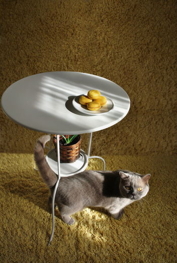 High angle portrait of cat below yellow macaroons on table at home