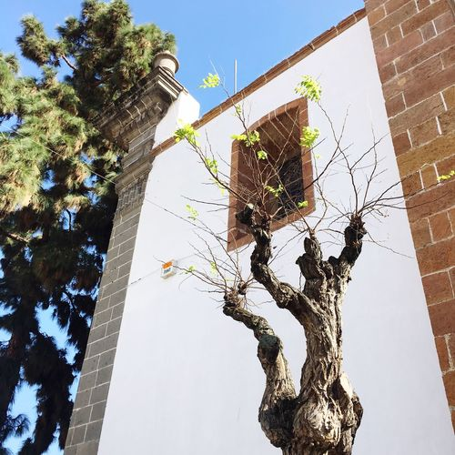Whitewall Whitewashed Teror, Gran Canaria Teror Tourism House Traditional House Building Exterior Tree Low Angle View Architecture Built Structure Branch Day No People Outdoors Growth Sky Clear Sky Tree Trunk Bare Tree Nature City Travel Destination Vacation Destination