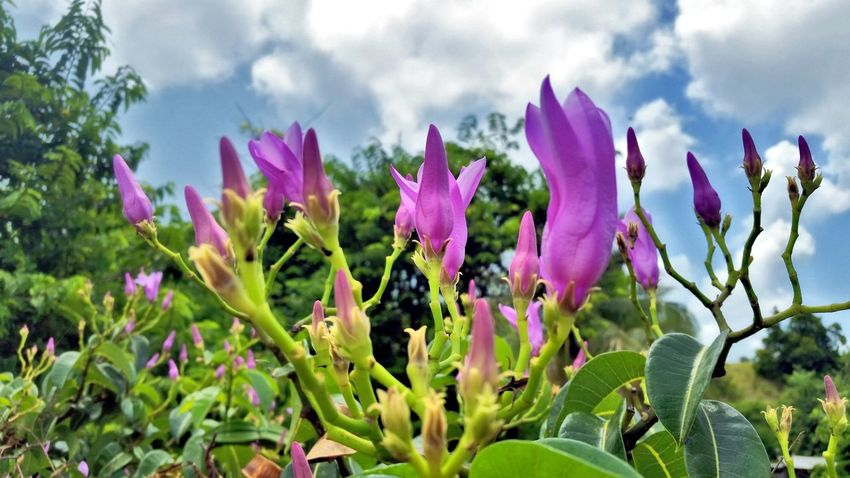 Flower Nature Pink Color Plant Cloud - Sky Beauty In Nature Growth Outdoors Fragility Day Freshness No People Flower Head Close-up Mobile Photography St. Croix USVI