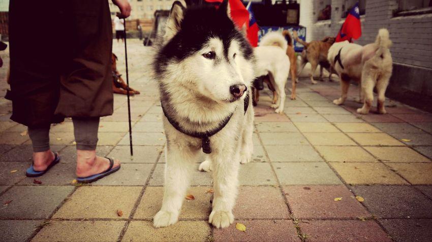 Doggy Dogs Husky GF2
