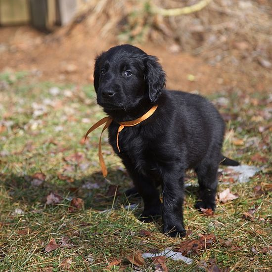 Wingmaster's Vesuvius ... You can call me Oliver - 8 week old Flat Coated Retriever seeing his new yard for the first time. Animal Portrait Orange Pet Puppy Dog Outdoors Flat Coated Retriever Black One Animal Animal Themes Domestic Animals Black Color