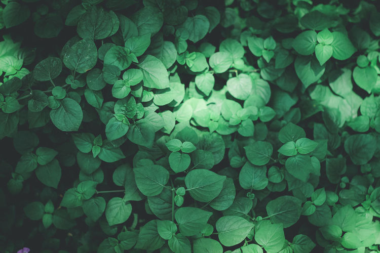 Green Color Growth Plant Full Frame Plant Part Leaf Nature Backgrounds Beauty In Nature No People Day Freshness Close-up Abundance Outdoors High Angle View Clover Tranquility Vulnerability  Fragility Turquoise Colored