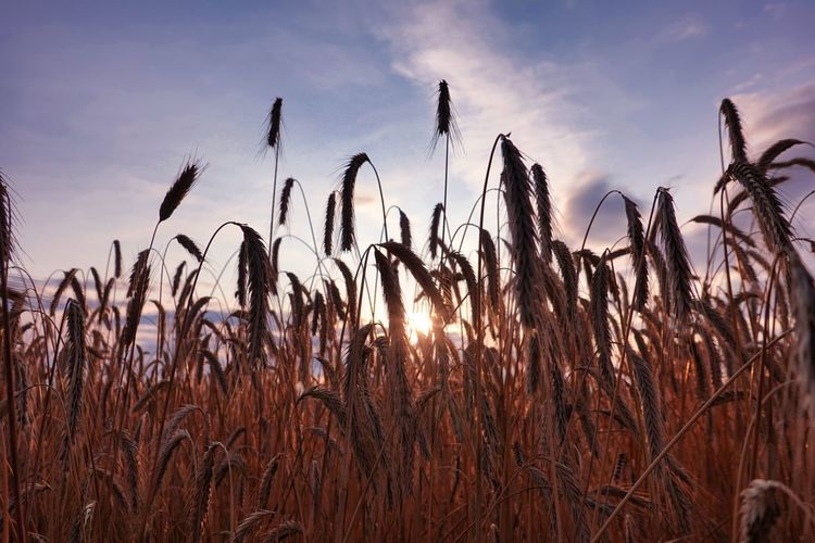 Cornfield Grain Sky Growth Plant Beauty In Nature Tranquility Nature Land Field Cloud - Sky Agriculture Sunset No People Tranquil Scene Scenics - Nature Crop  Landscape Day Sunlight Outdoors Rural Scene