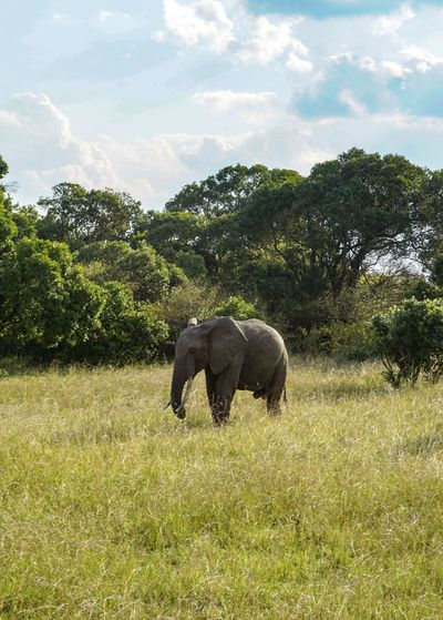 An elephant on the reserve. Plant Animal Animal Themes Mammal Animal Wildlife One Animal Animals In The Wild Cloud - Sky Sky Grass Tree Field Nature Land Elephant Vertebrate No People Day Growth Beauty In Nature Herbivorous Outdoors