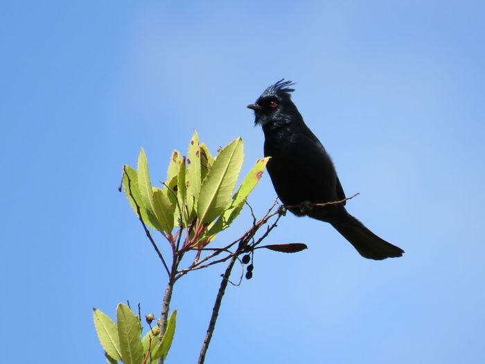 Phainopepla enjoying a nice spring day. Parks Phainopepla Wildlife & Nature Birds Wilderness Wildlife