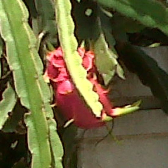 Mature Dragon Fruit. Dragonfruit Fruit Fruits Buahnaga buahbuahan