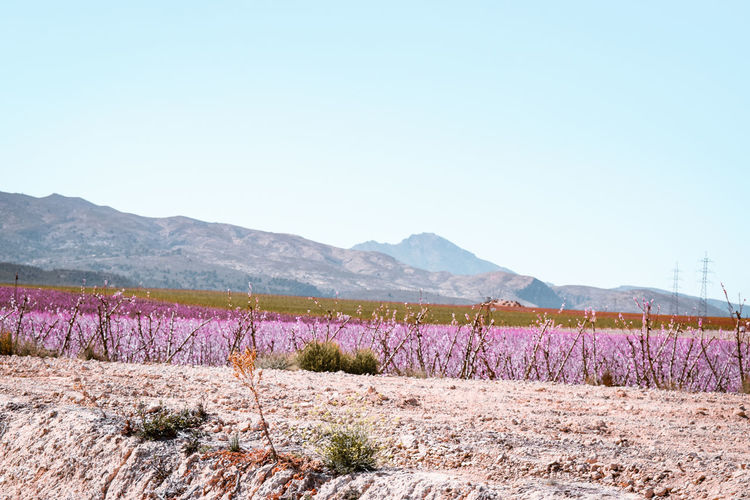 flowering plantations in Spain Peach Blossom Springtime Arid Climate Arid Landscape Montains    Clear Sky Pink Flowers Dry Ground Flower Tree Mountain Rural Scene Clear Sky Springtime Agriculture Blossom Scented Purple Almond Tree In Bloom Blooming Plant Life