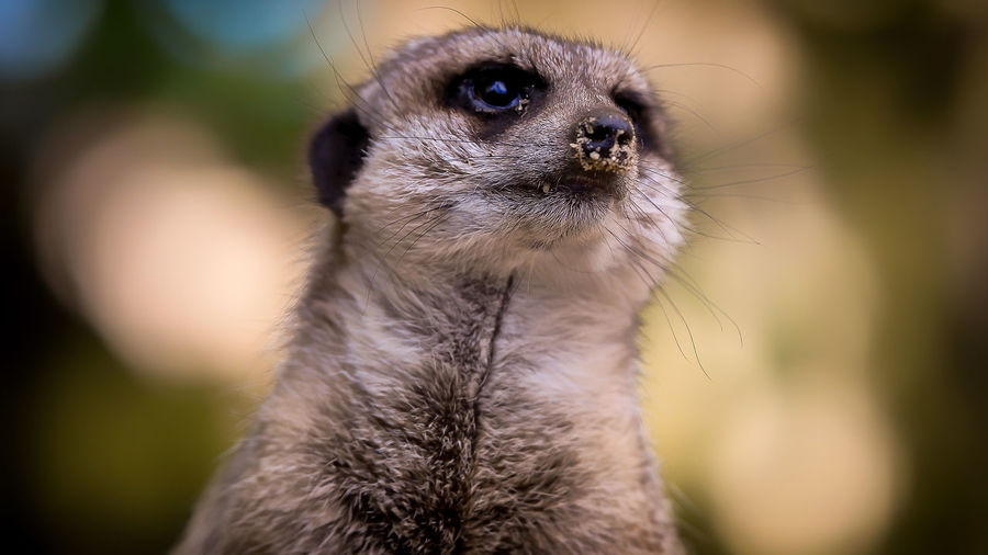 Animal Themes Animal Wildlife Animals In The Wild Close-up Day Focus On Foreground Mammal Meerkat Nature No People One Animal Outdoors Portrait