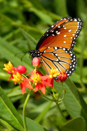 Beauty In Nature Butterfly Butterfly - Insect Close Up Close-up Flower Flower Head Flowering Plant Fragility Insect Invertebrate Monarch Monarch Butterfly Plant Pollination Vulnerability