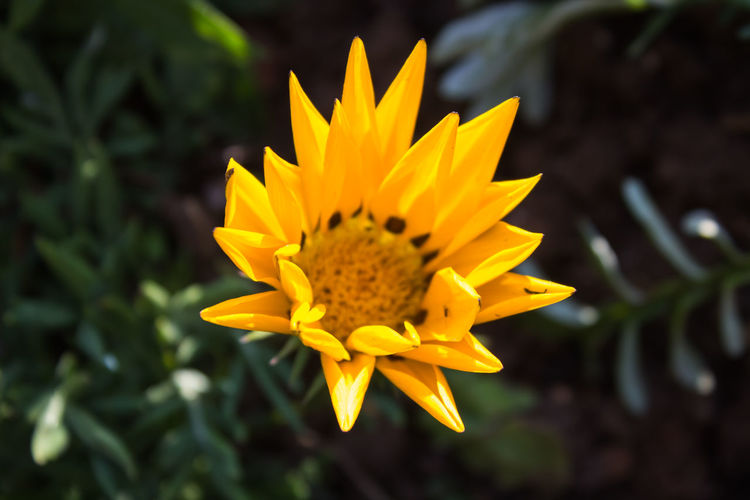 High angle view of gazania blooming outdoors