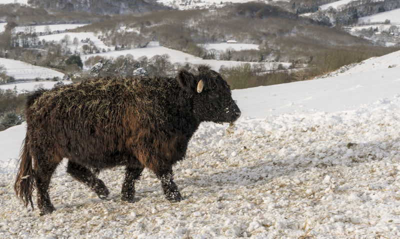 Scenes from Malvern after the early December 2017 snowfall. Britain Malvern Hills Snow ❄ Wintertime American Bison Animal Themes Beauty In Nature Cold Temperature Day Domestic Animals Highland Cattle Livestock Mammal Nature No People One Animal Outdoors Snow Snowfall Uk Winter Worcestershire