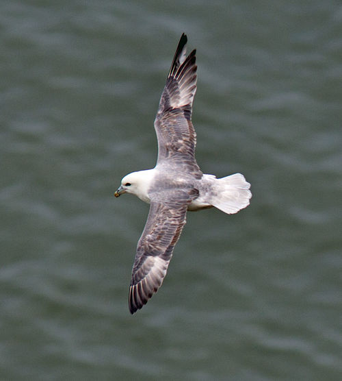 Fulmar in flight Bempton Cliffs Fulmar RSPB Animals In The Wild Beauty In Nature Bird Flying Fulmarus Glacialis Nature No People Water