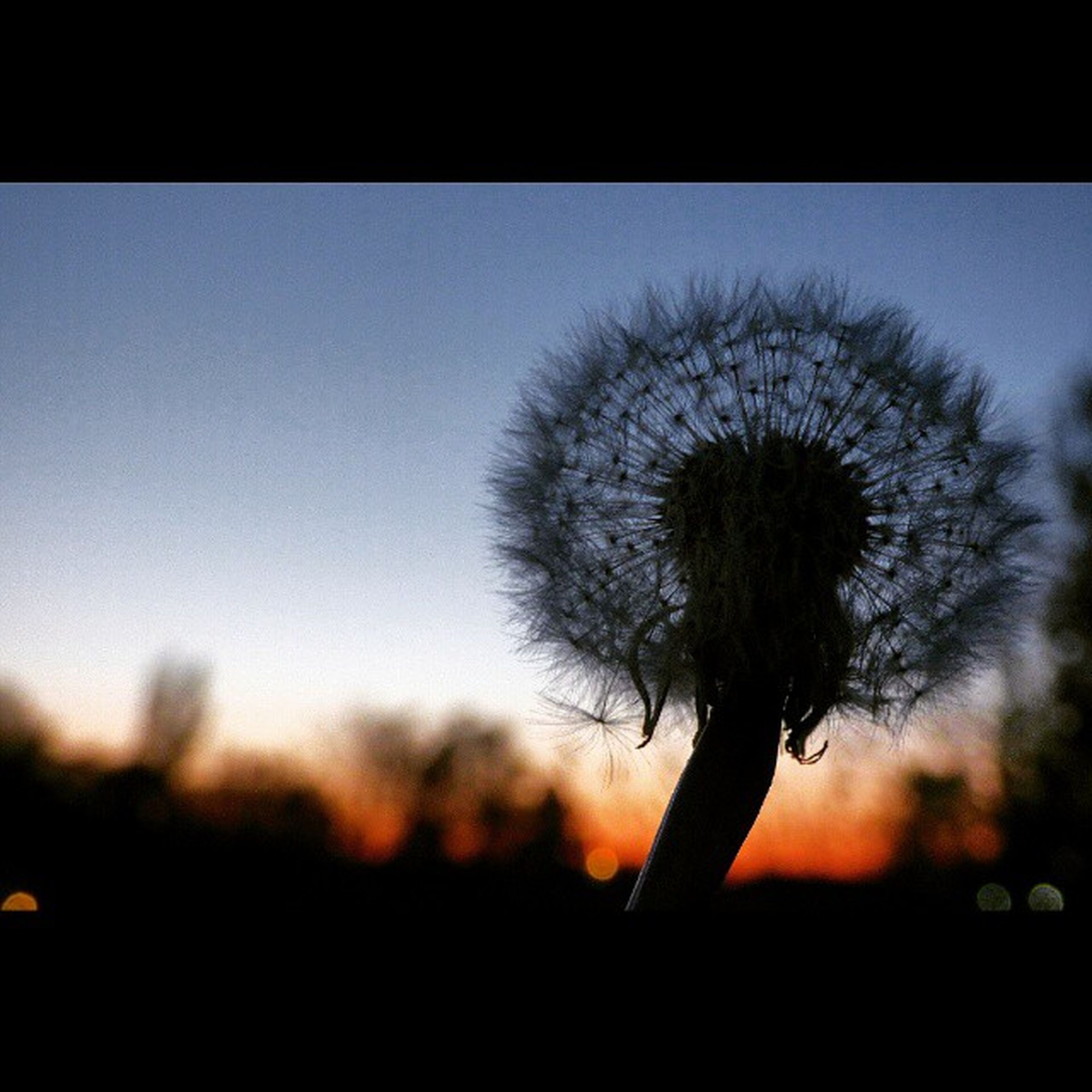 flower, growth, dandelion, fragility, beauty in nature, nature, focus on foreground, close-up, freshness, stem, silhouette, flower head, plant, sunset, sky, clear sky, wildflower, selective focus, outdoors, single flower