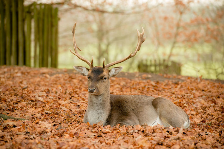 Portrait of deer relaxing on autumn leaves in forest
