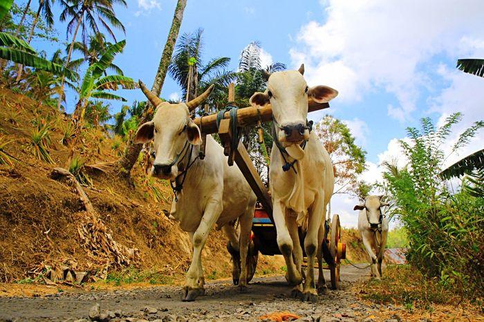 Minahasa Cow Minahasa Bunaken North Sulawesi - Indonesia Enjoying Life EyeEm Indonesia Travel Photography EyeEm Masterclass Pesona Indonesia Wonderful Indonesia Farm